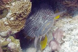 A grouchy but splendid toadfish. Fuji Finepix S2, dual SB... by Stuart Spechler 